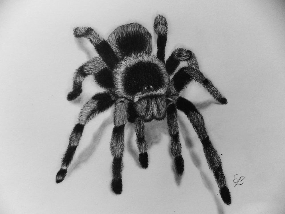 Tarantula Sketch At Paintingvalleycom Explore Collection
